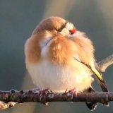 123. Lasair choille; Goldfinch