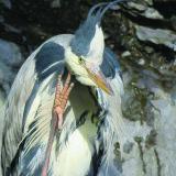125. Corr Réisc, Heron