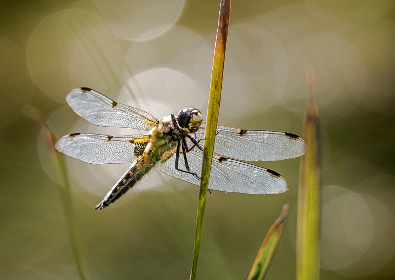01 Dragonfly by Ivor Toms