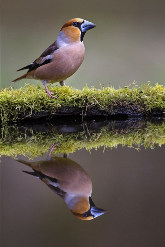 01 Hawfinch by Tim Downton