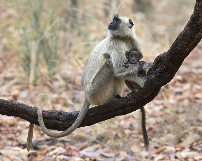 01 Langur With Infant by Bob Davies