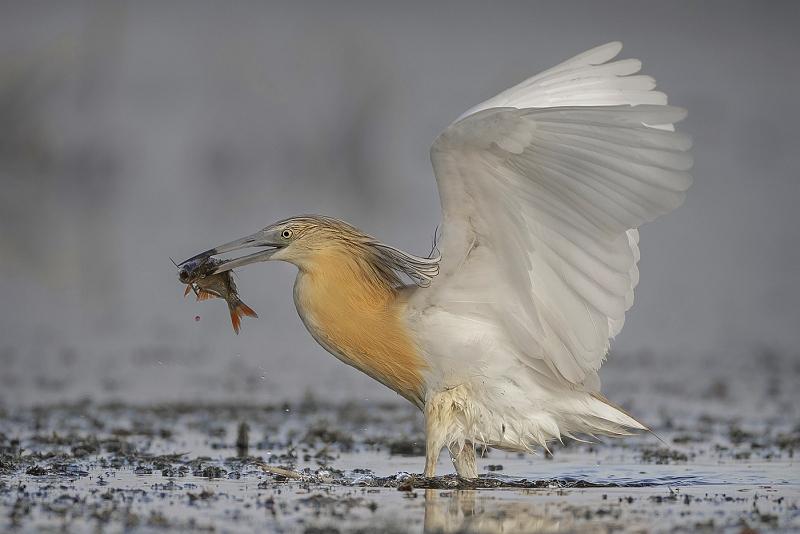 01 Squacco Heron with Fish by Tim Downton