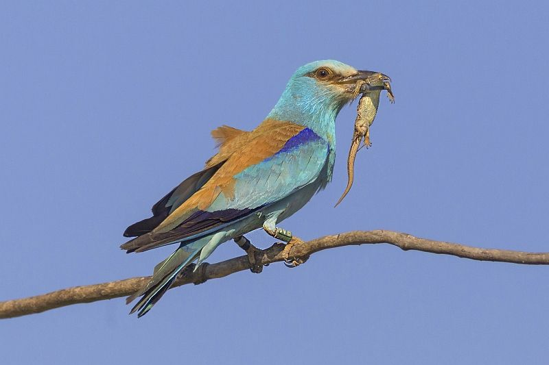 01 Susan Buckland European Roller with Lizard