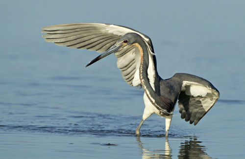 Tricolor Heron Shielding Light