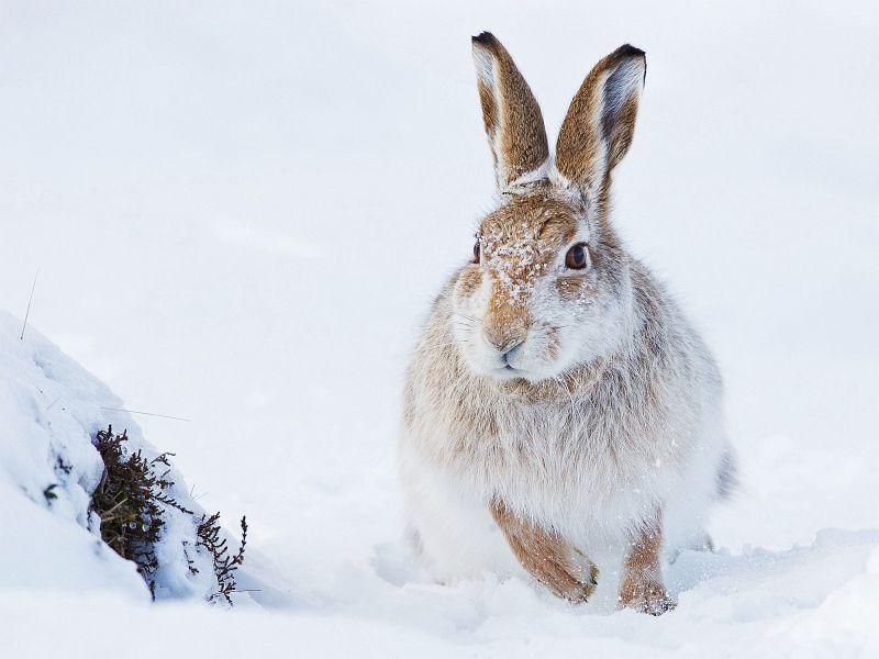 02 Iain Friend Mountain Hare Foraging