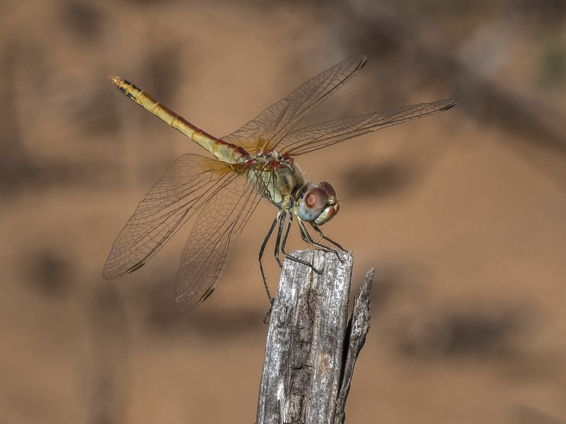 02 Red-veined Darter by Iain Cameron