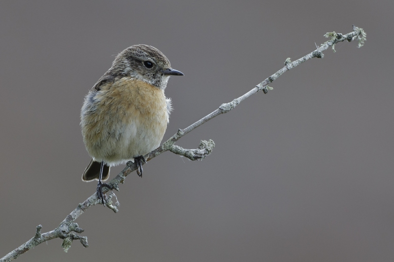 02 Stonechat by Tim Downton