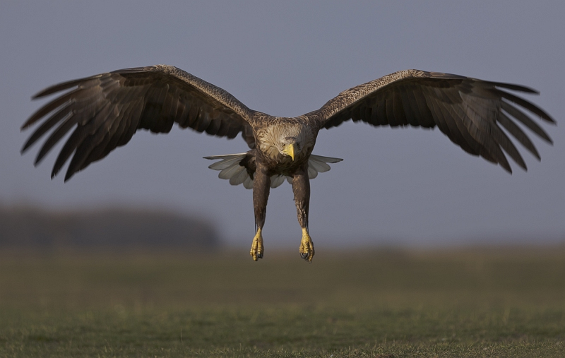 03 White-tailed Eagle by Susan Buckland