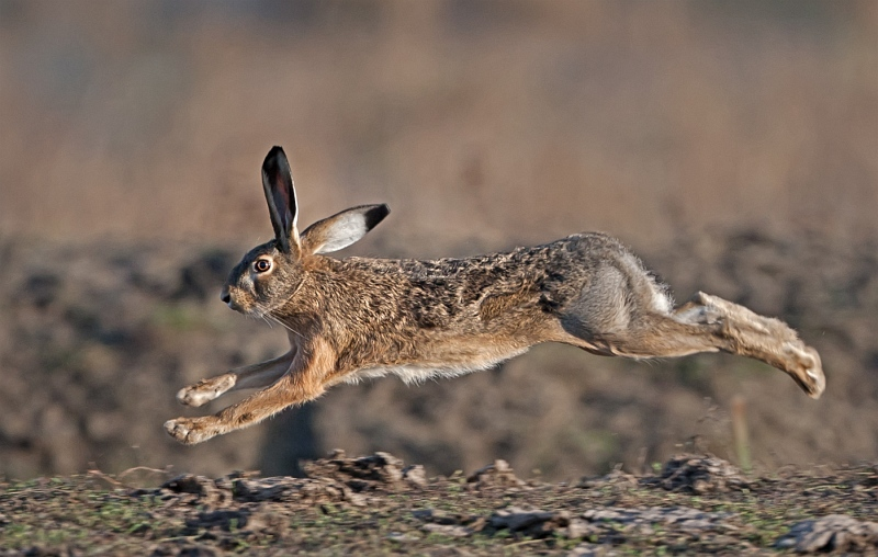 04 Brown Hare by Tim Downton