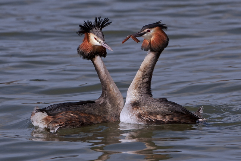 04 Grebes Courting by Tim Downton