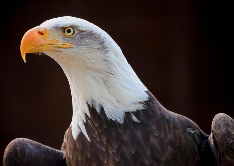05 Bald Eagle by Ivor Toms