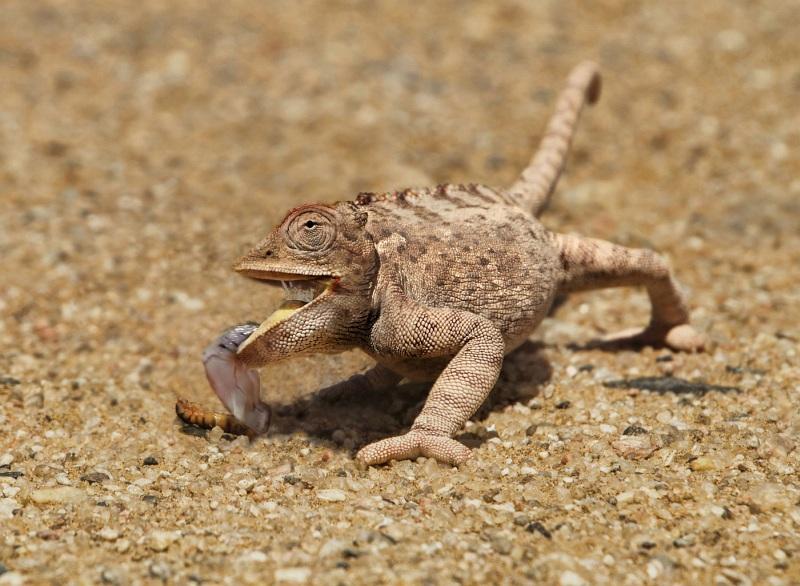 05 Desert Chameleon by Lisa Bukalders LRPS