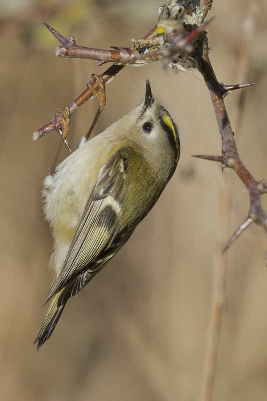 05 Goldcrest by Tim Downton