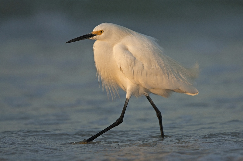 05 Snowy Egret at sunrise by Mary Cantrille