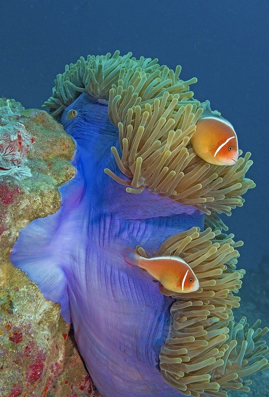 05 Spike Piddock Two Pink Anemonefish