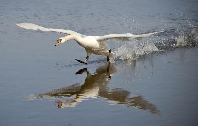 05 Swan Taking Off by Ivor Toms
