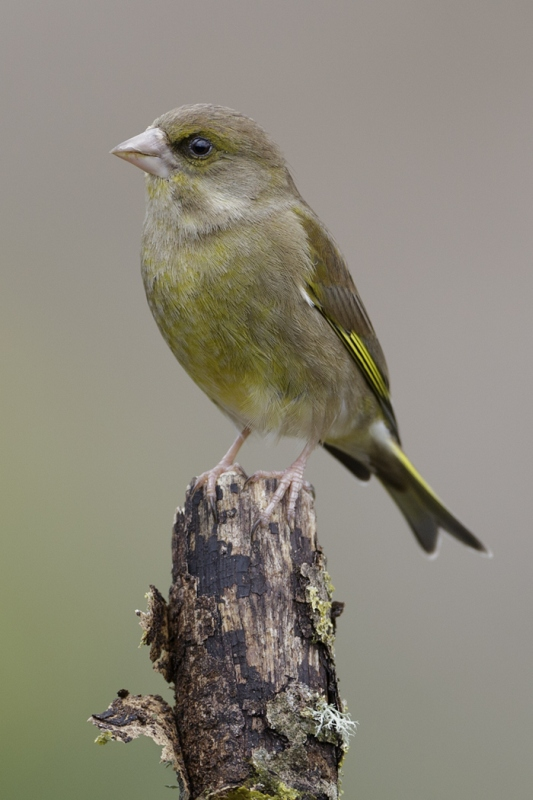 06 Green Finch by Tim Downton