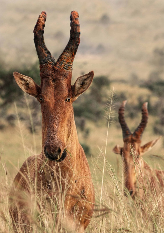 06 Ugandan Hartebeest by Lisa Bukalders LRPS