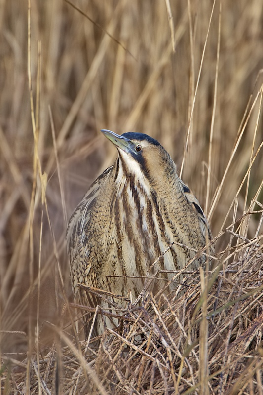 07 Bittern by Tim Downton