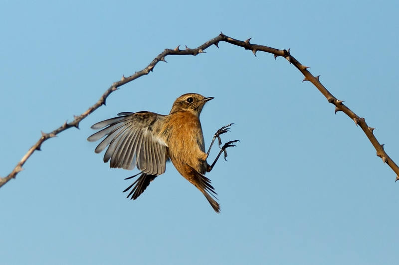 07 Female Stonechat in Flight by Susan Buckland