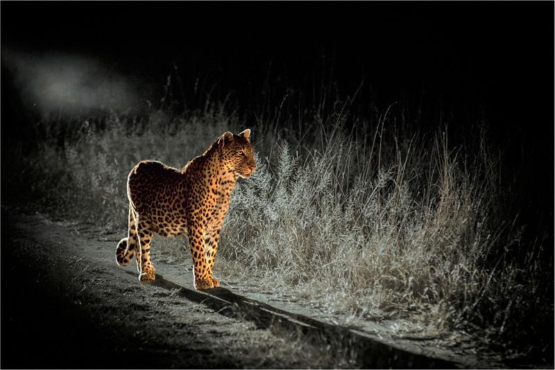 07 Predator in the Headlights by Bob Davies