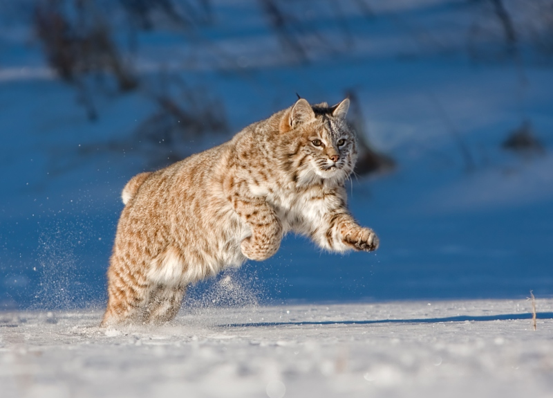 07 Running Bobcat by Valerie Duncan