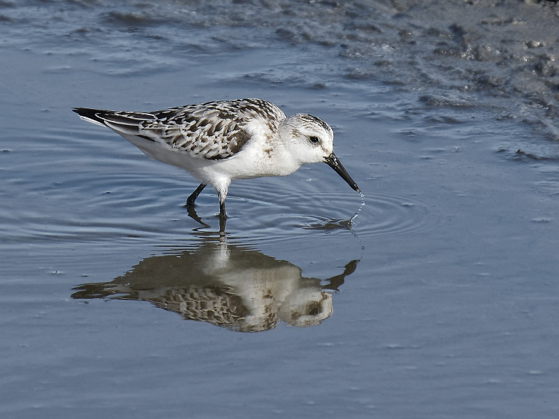 07 Sanderling by Iain Cameron