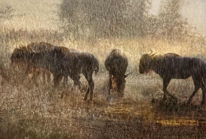 08 Wildebeest in Sunset Shower by Lisa Bukalders LRPS