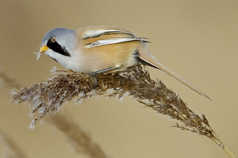 09 Male Bearded Tit by Tim Downton