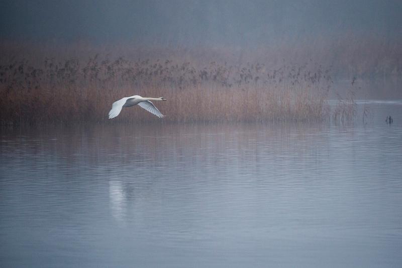 09 Swan Lake by Bob Davies