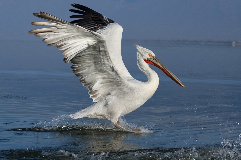 10 Dalmatian Pelican Landing #2 by Mary Cantrille