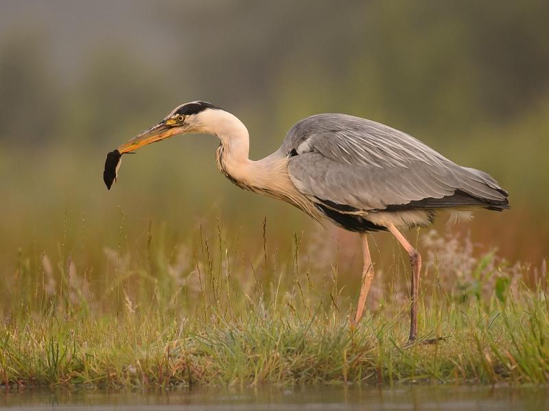 10 Heron-Water Shrew by Iain Friend