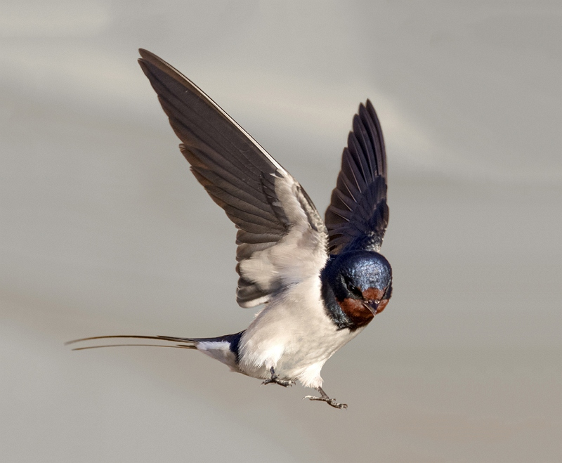 10 Swallow by Bob Davies