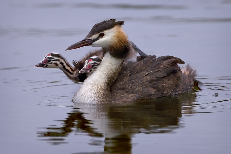 11 Great Crested Grebe with Chicks by Tim Downton