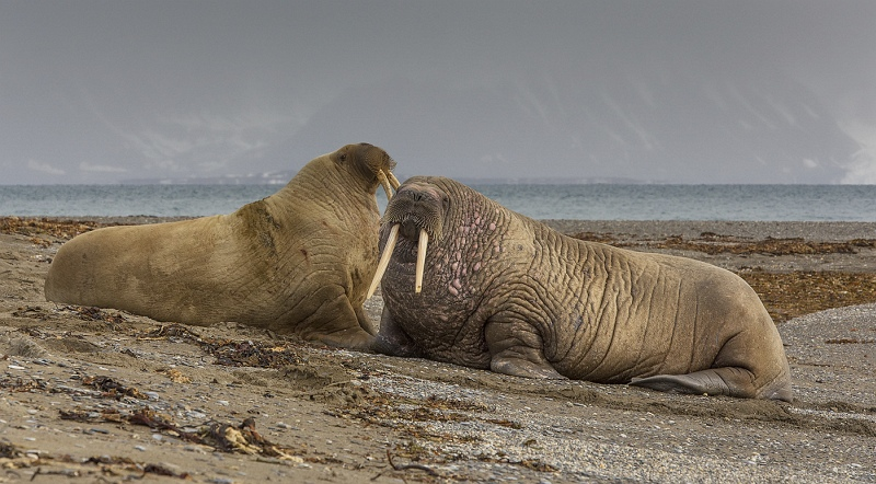 11 Spitsbergen Walrus by Stephen Lee