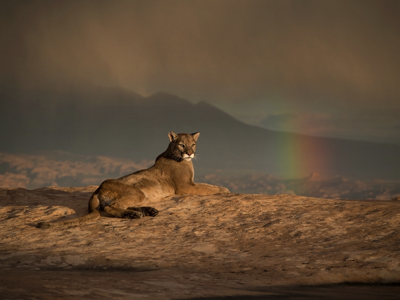 12 Cougar and Approaching Storm by Valerie Duncan