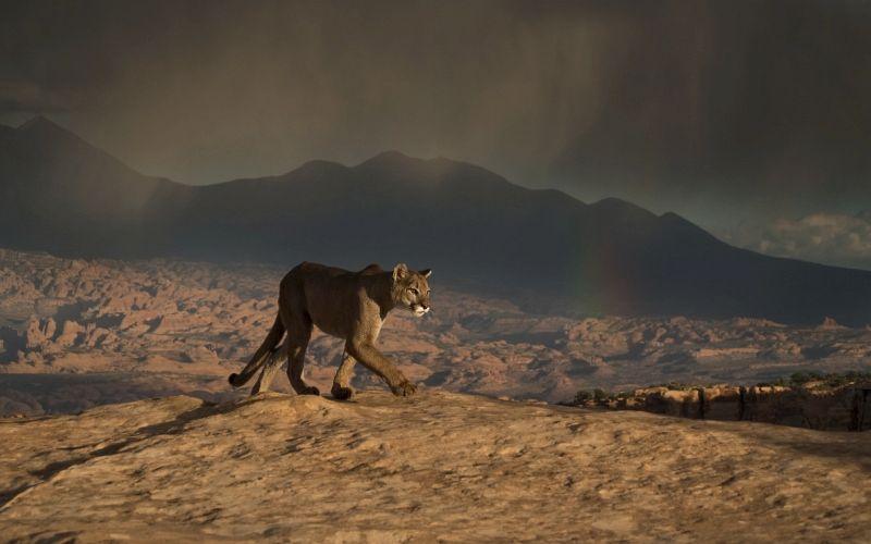 12 Valerie Duncan Cougar at Canyonlands