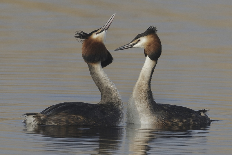 13 Great Crested Grebes by Tim Downton