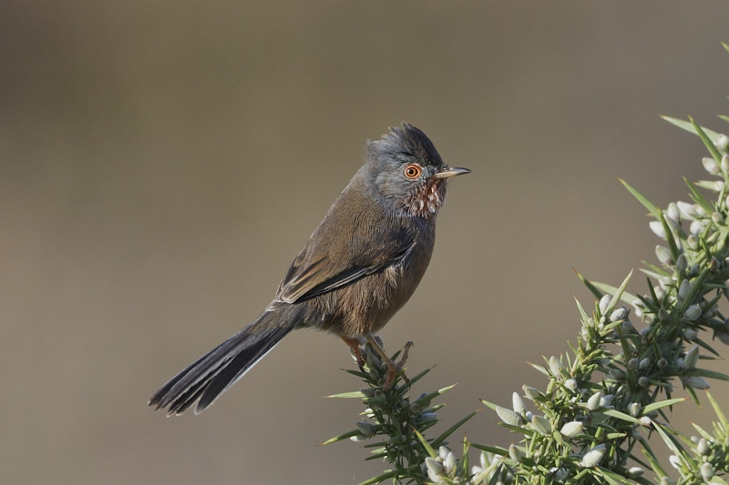 13 Male Dartford Warbler by Tim Downton