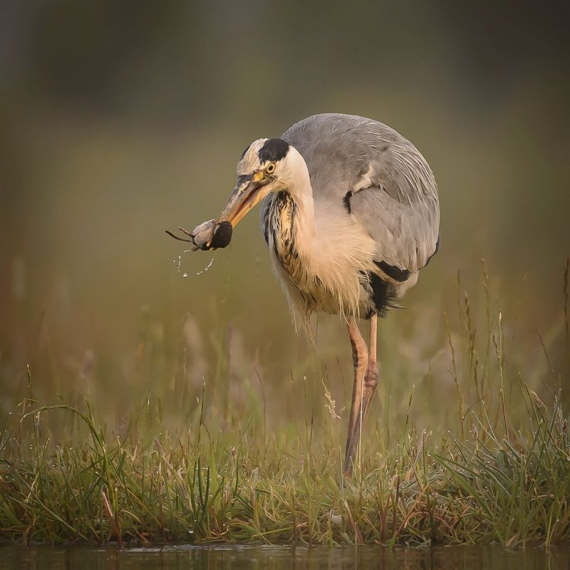 14 Iain Friend Heron with Water Shrew
