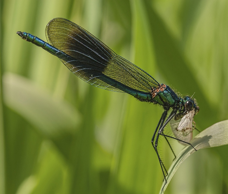 16 Banded Demoiselle with Prey by Malcolm Kitto