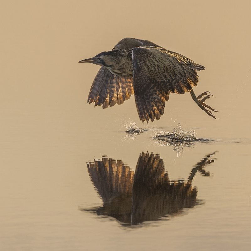 16 Tim Downton Bittern at Sunrise