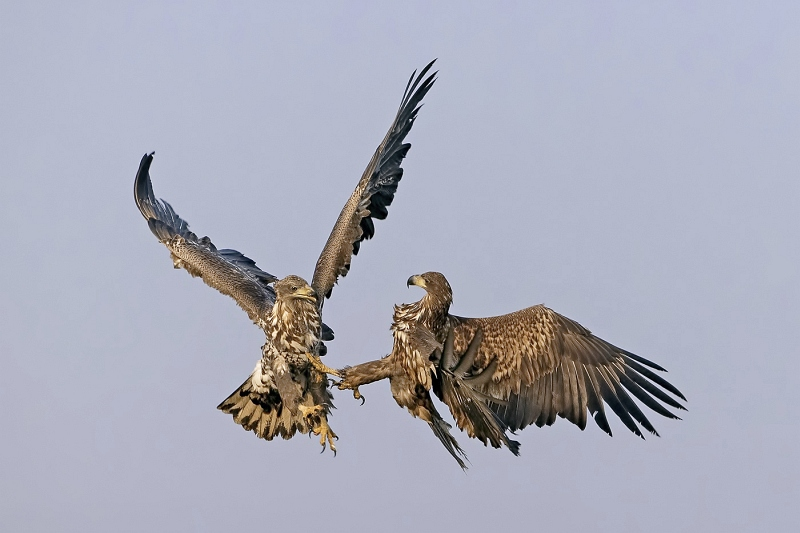 17 White-tailed Sea Eagles Fighting by Tim Downton