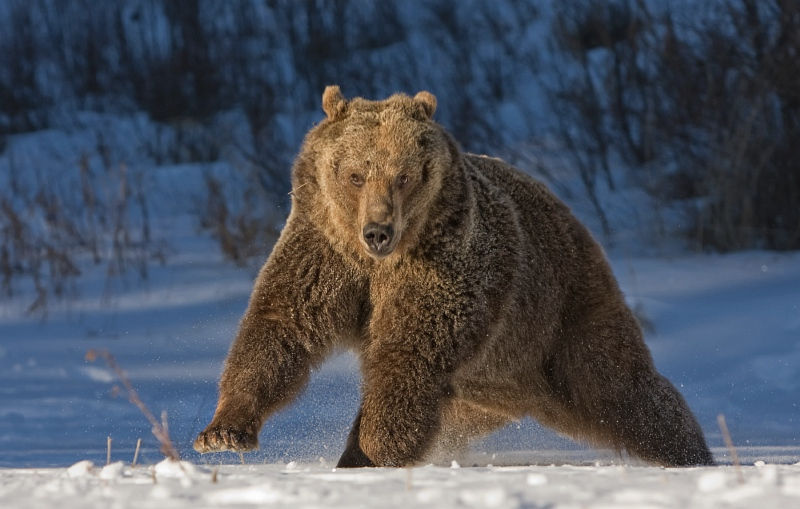 18 Grizzly on the Move by Valerie Duncan
