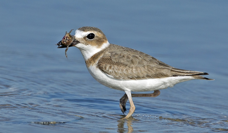 20 Wilson's Plover with Large Crab by David Cantrille