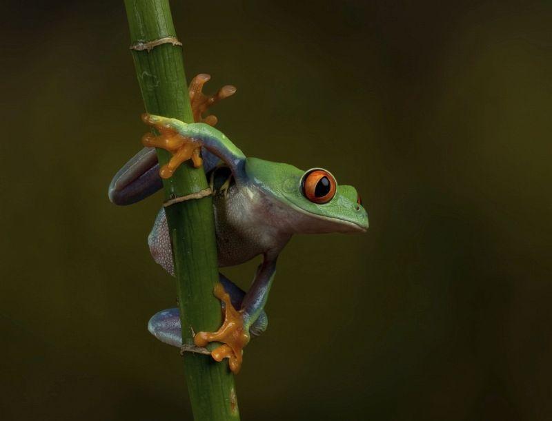 21 Valerie Duncan Red Eye Tree Frog