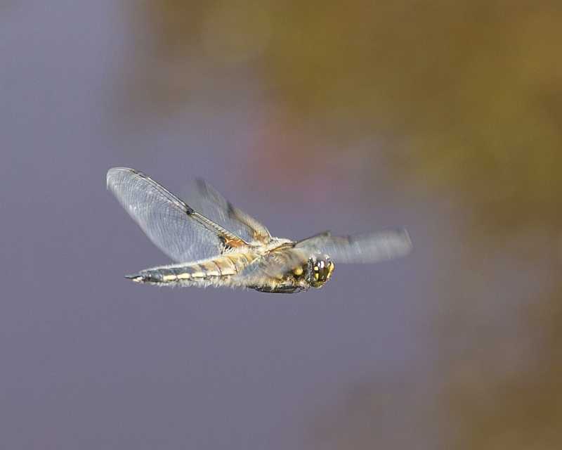 4-spotted Chaser by Jeremy Lee-Potter