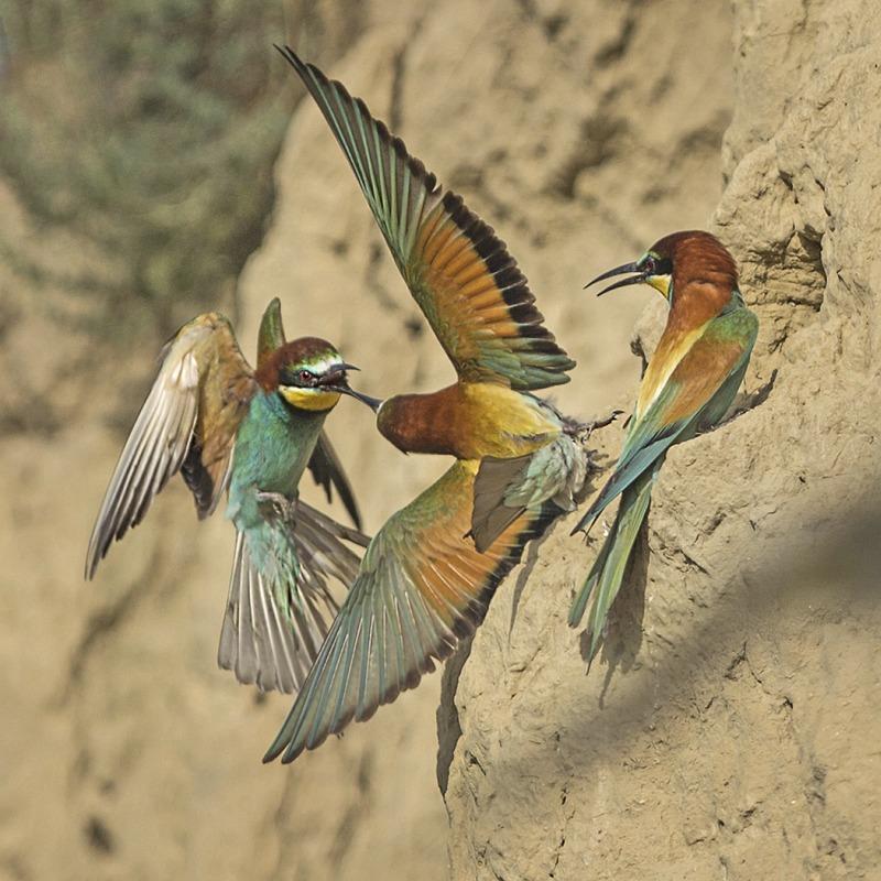 Bee-eater Territory Dispute by Susan Buckland