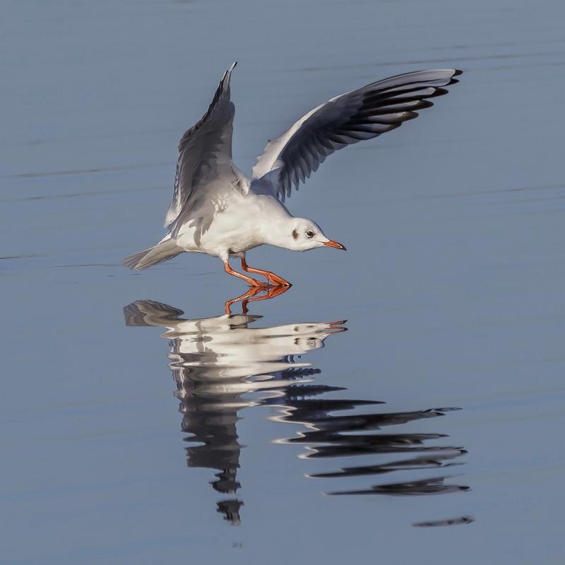 Black Headed Gull Landing by Martin Davenport