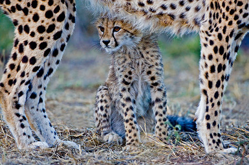 Cheetah Club with Mother by David Cantrille